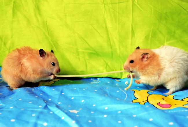 Грызуны любят макароны