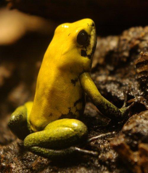 Самые ядовитые лягушки на земле